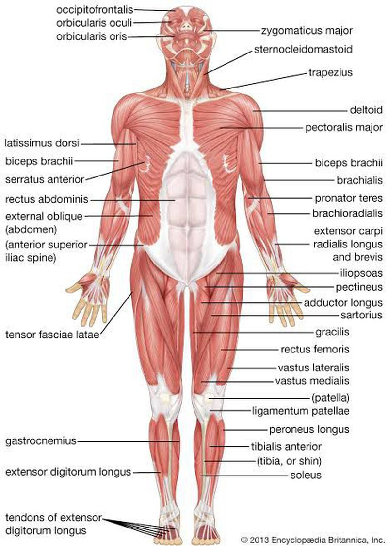 Muscle of body