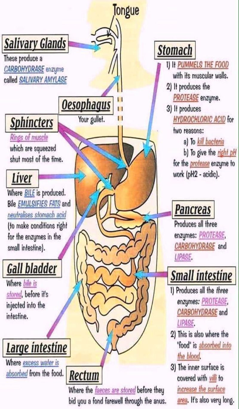 Human digestive system and sites of enzymes in the body