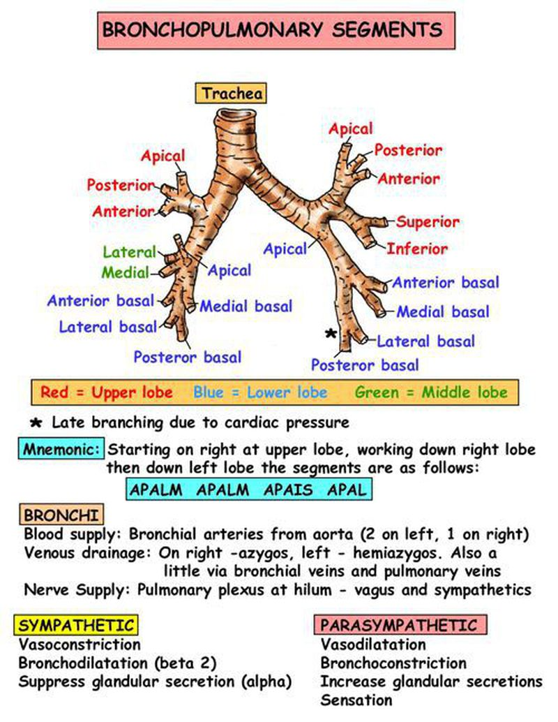 Instant Anatomy - Thorax - Areas/Organs - Respiratory system - Bronchopulmonary segme… | Respiratory therapist student, Respiratory system anatomy, Respiratory care