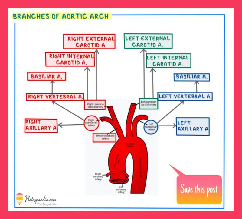 Branches of Aortic Arch , Instagram : @notespaedia
