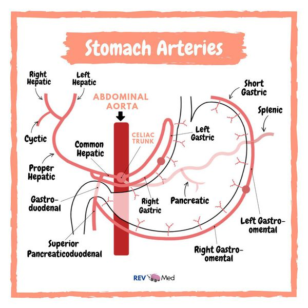 Arterial supply of the Stomach - Anatomy