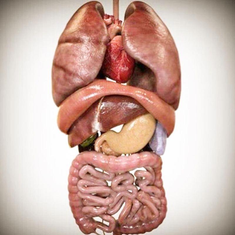 Interesting photo shows the organization of human viscera