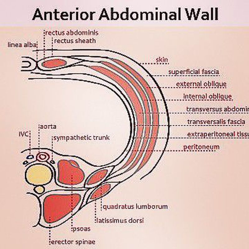 Anterior Abdominal Wall Structures