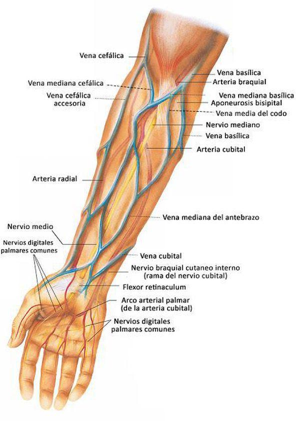 Lujo Arteria Cefálica Bosquejo - Anatomía de Las Imágenesdel Cuerpo ...