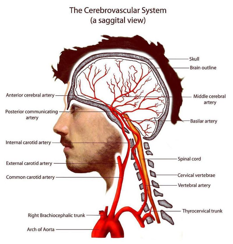 The Cerebrovascular System