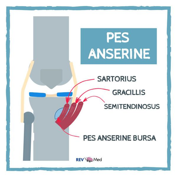 The Pes Anserine Tendons Anatomy