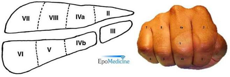 Memorising liver segments using right hand