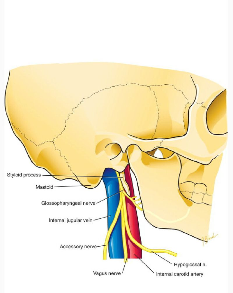 Vagus and glossopharyngeal nerve