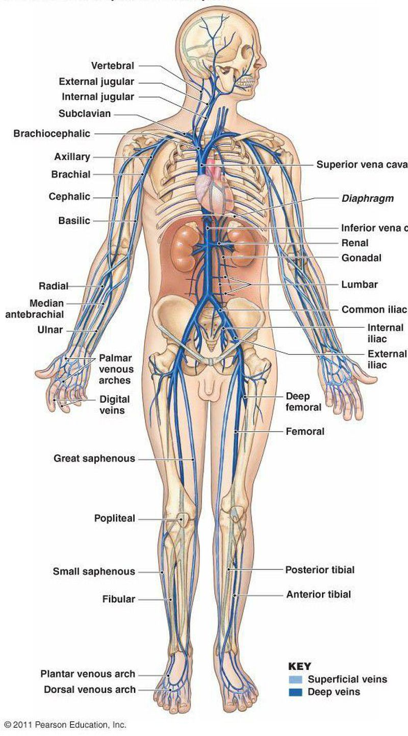 An Overview Of Venous System