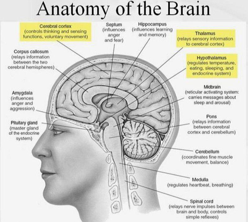 Neuroanatomy in a glimpse