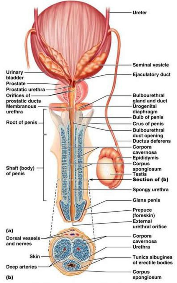 Male Reproductive System Anatomy