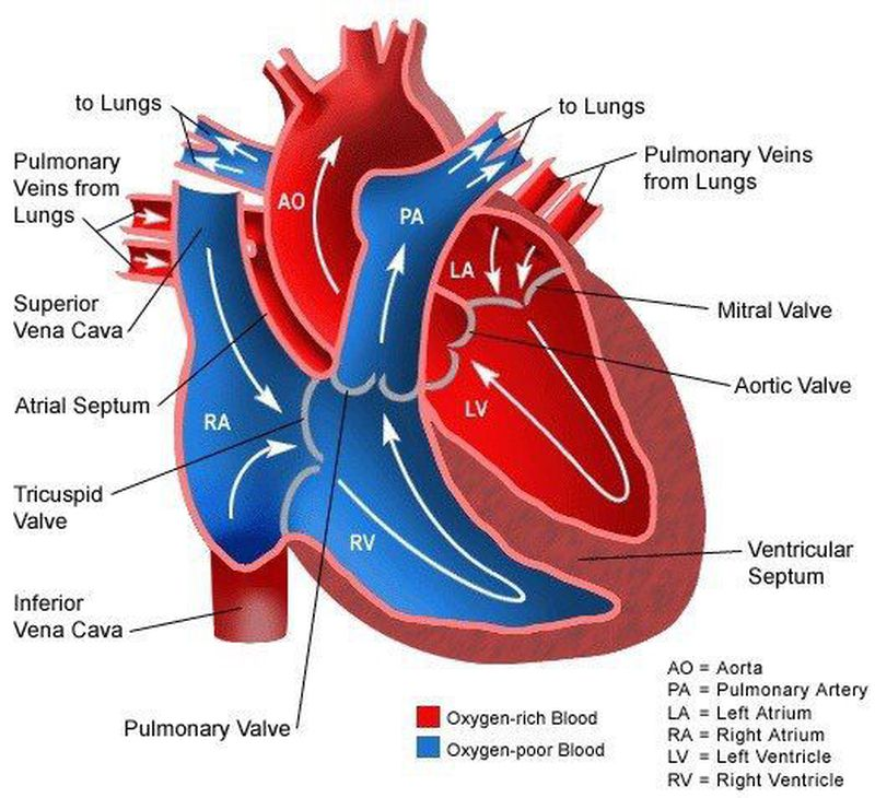 Cardiac Blood Flow