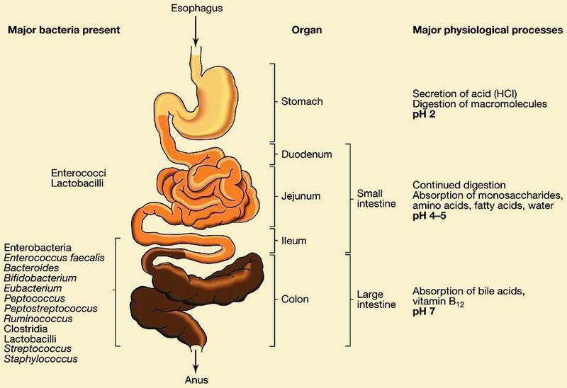 G.I.T Bacteria