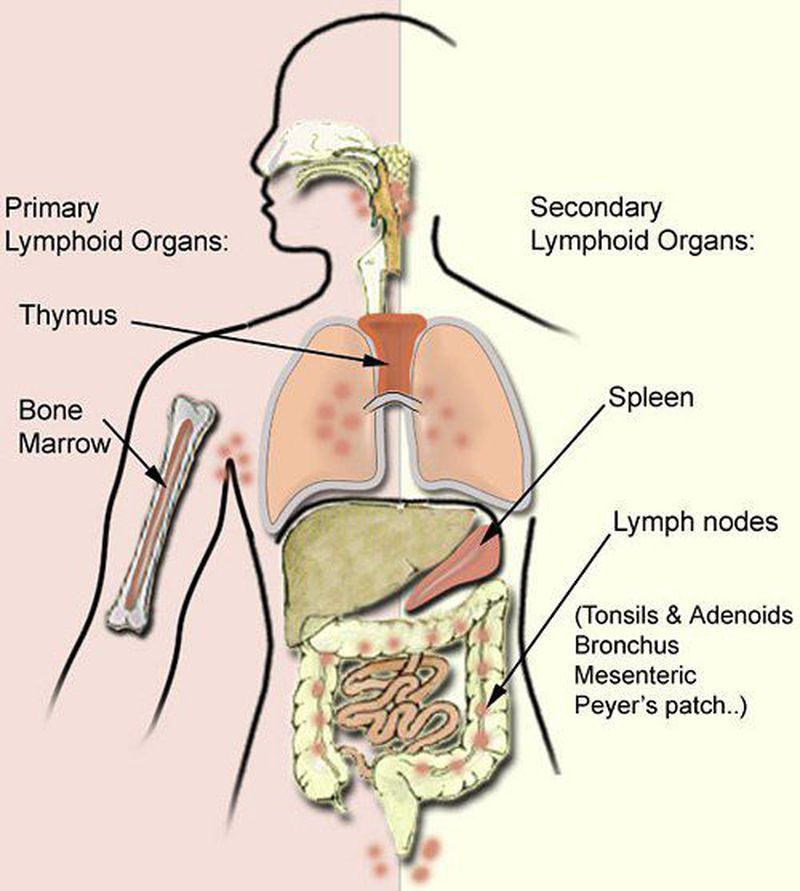 Primary & Secondary Lymphoid Organs