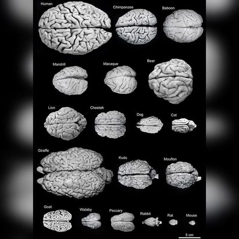 Know your brain size, know your worth