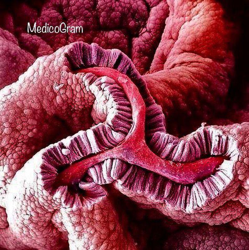 Electron Micrograph of Simple columnar epithelium of Gallbladder