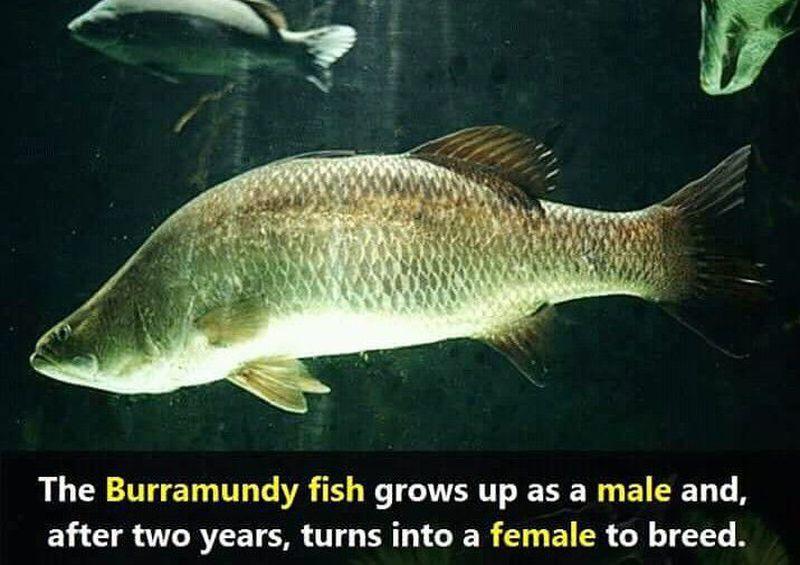 Burramundy 🐠 fish