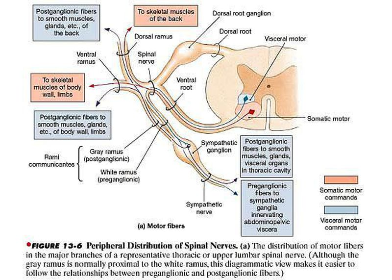 Typical Spinal Nerve
